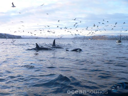 Marine Mammals and Fish of Lofoten and Vesterålen – Ocean